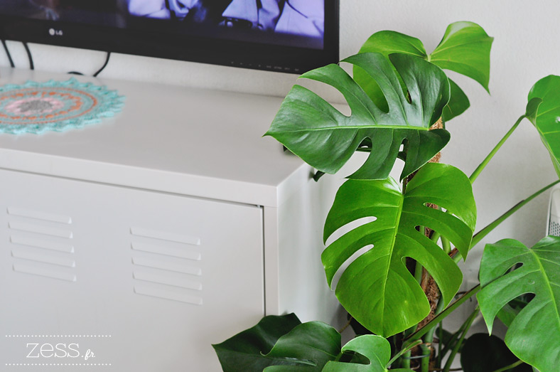 plante monstera philodendron