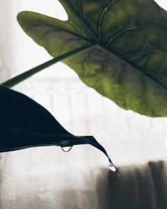 Cette plante qui transpire
