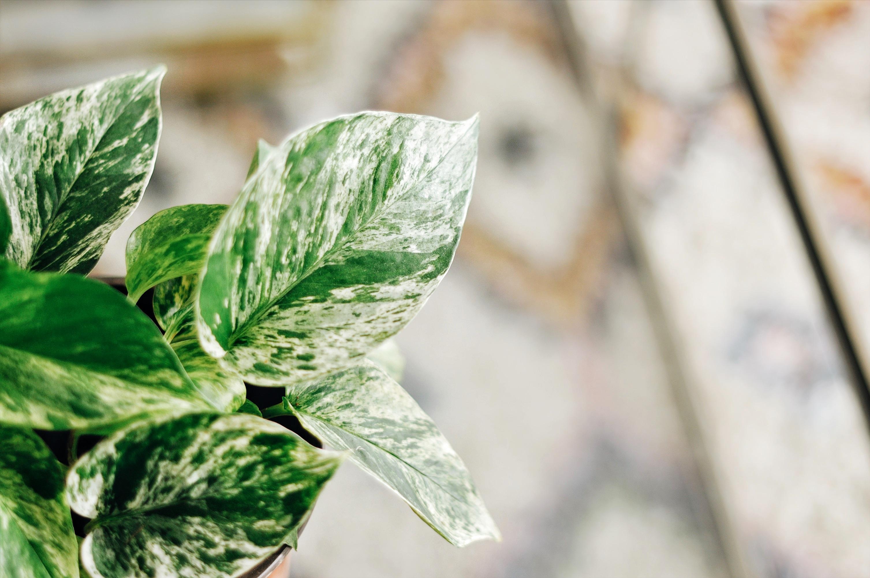 pothos marble queen