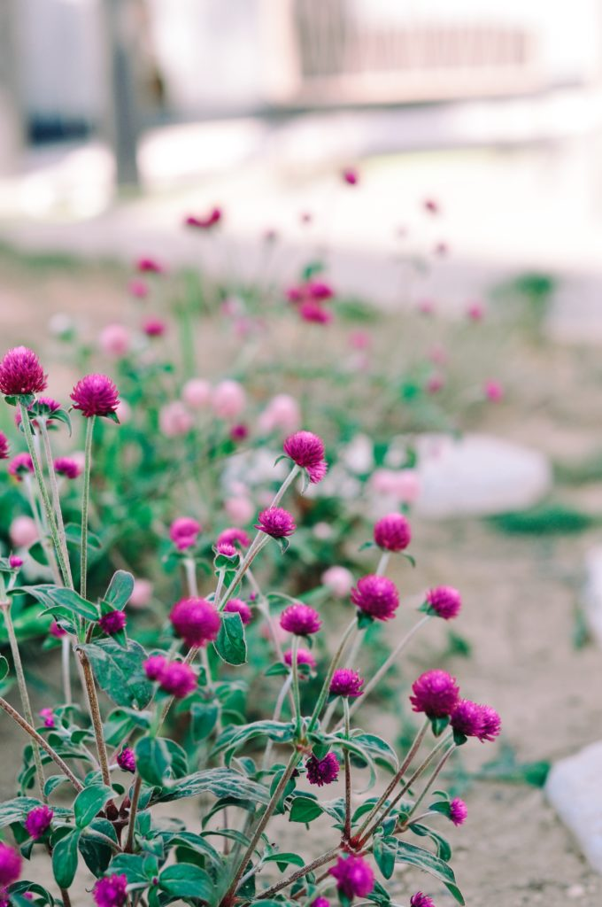 jardin semis fleurs séchées