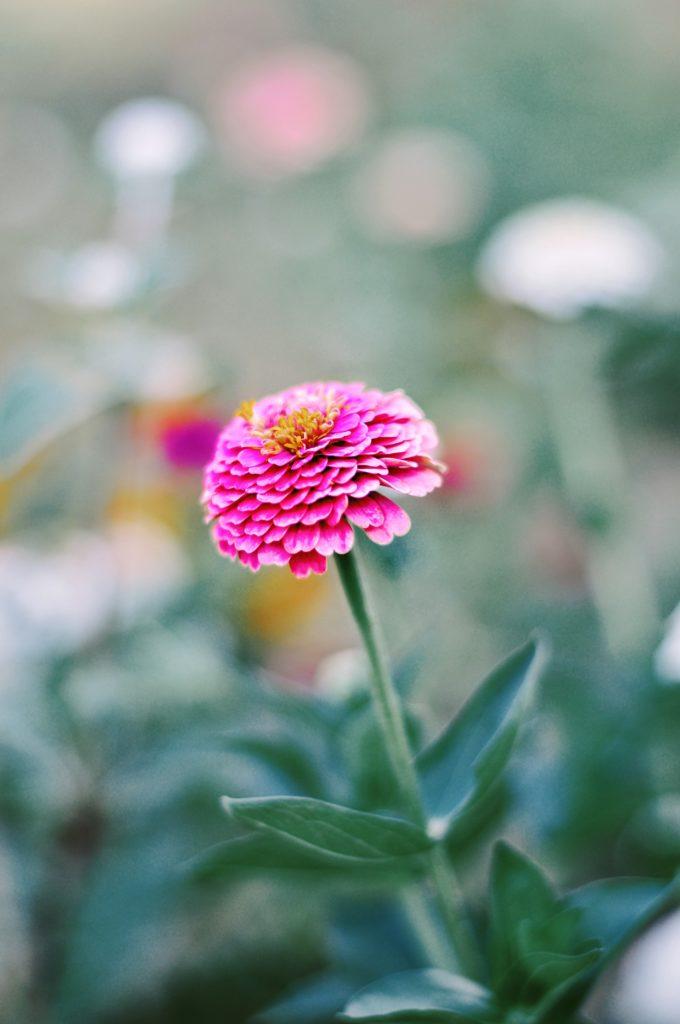 zinnia semis fleur facile