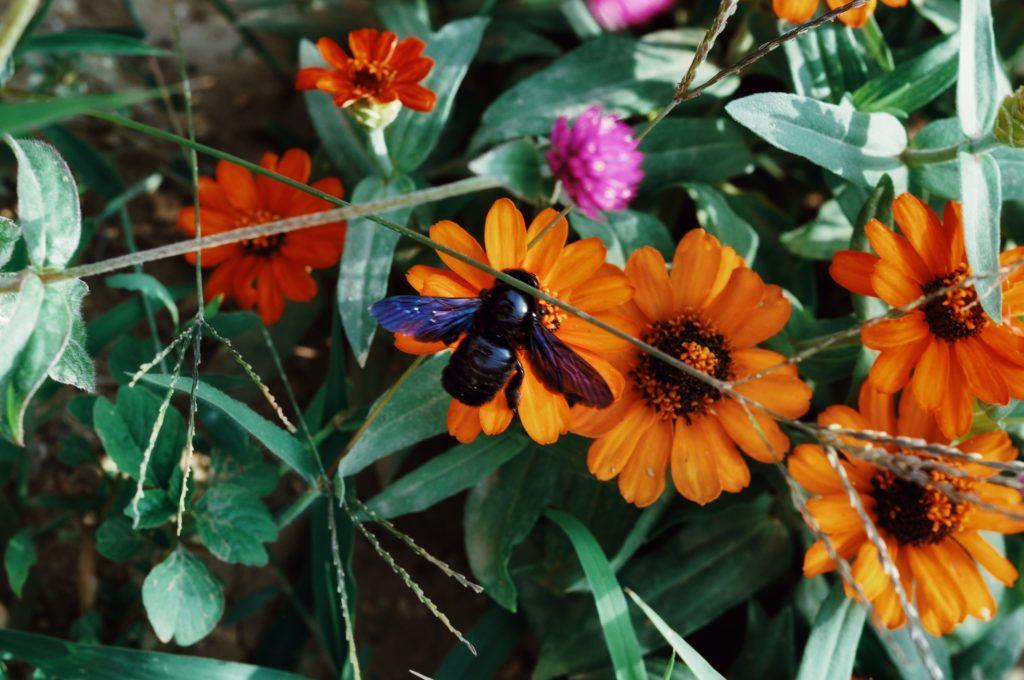 abeille noire jardin