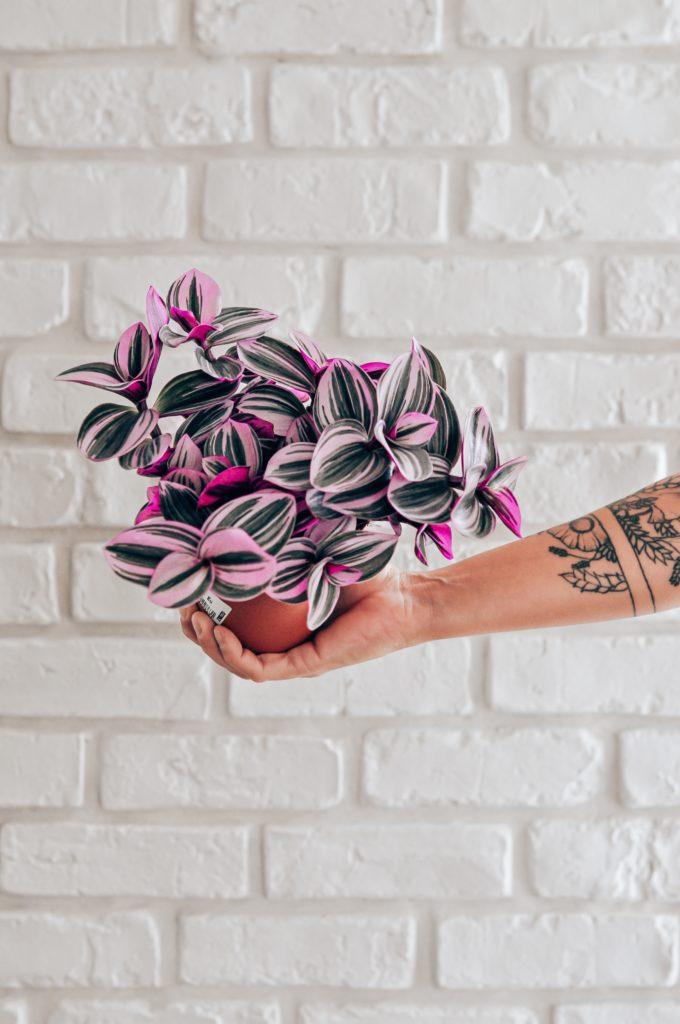 tradescantia nanouk rose