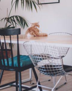 chat roi pacha  Sa majest robertlechat exoticshorthair instacat