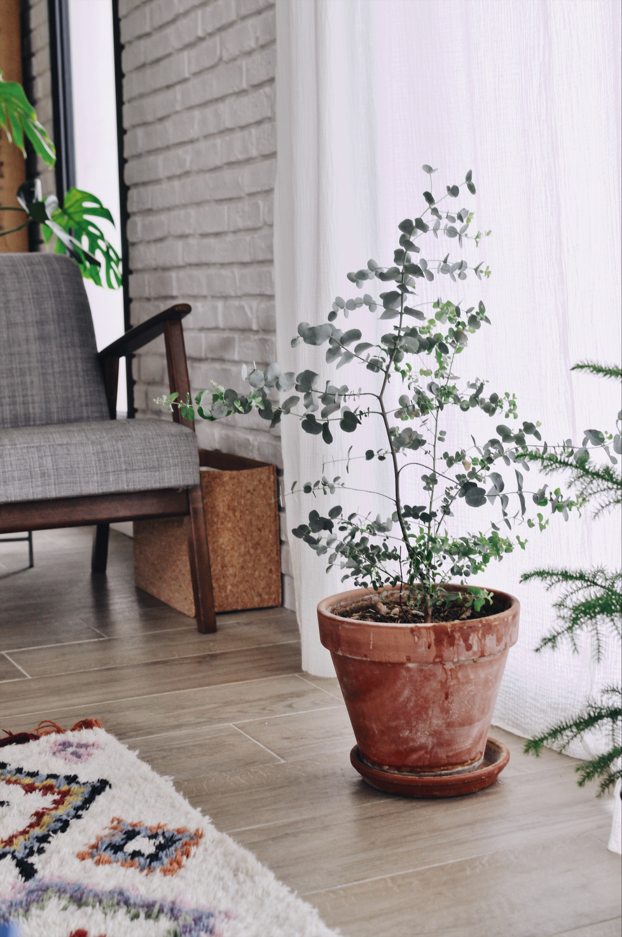 Arbre En Pot Terrasse conseils pour faire pousser un eucalyptus en intérieur