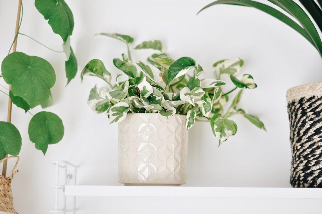 pothos n joy scindapsus blog plante
