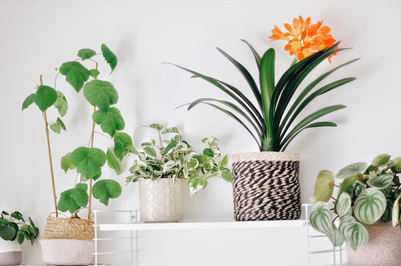 plante increvable urban jungle