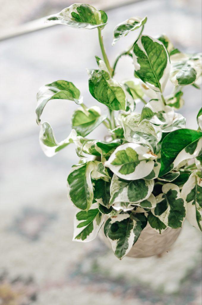 pothos n joy blog plante