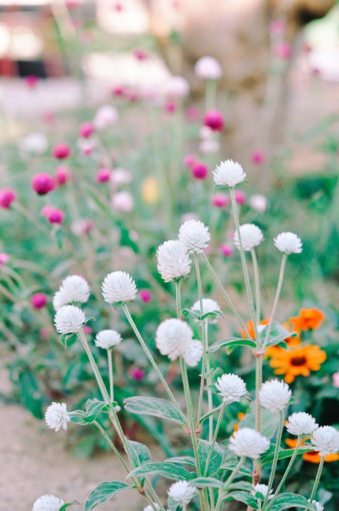 gomphrena semi jardin