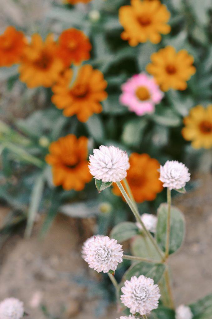 semis fleurs